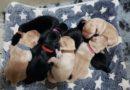 "Cuccioli Labrador ""E"""