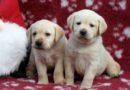 """Cuccioli Labrador """"F"""""""